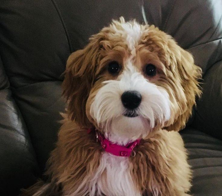 Mini English Teddy Bear Goldendoodle looks alot like Spot