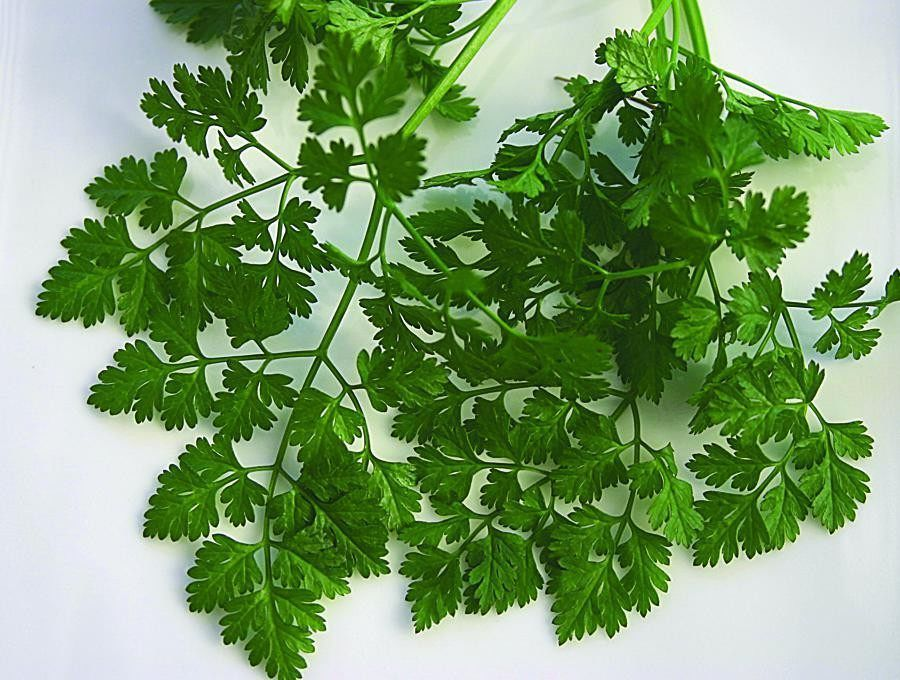 Anthriscus cerefolium The leaves and flavor resemble parsley, but with a hint of anise. Its leaves taste best before flowering, so pinch off blooms for a continuous supply. Chervil grows most succesfully in the cooler weather of spring and fall. Self-sows generously. Grows 1 to 2 feet high.    350 seeds     PLANTING An