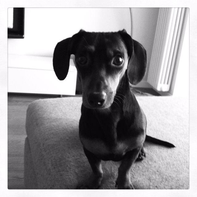 Milo the Dachshund