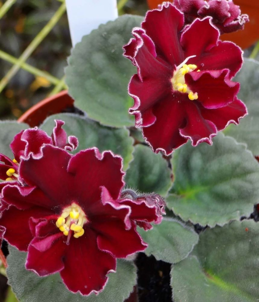 Lady In Red (Sorano/Lyon's)   African violet   Pinterest ...