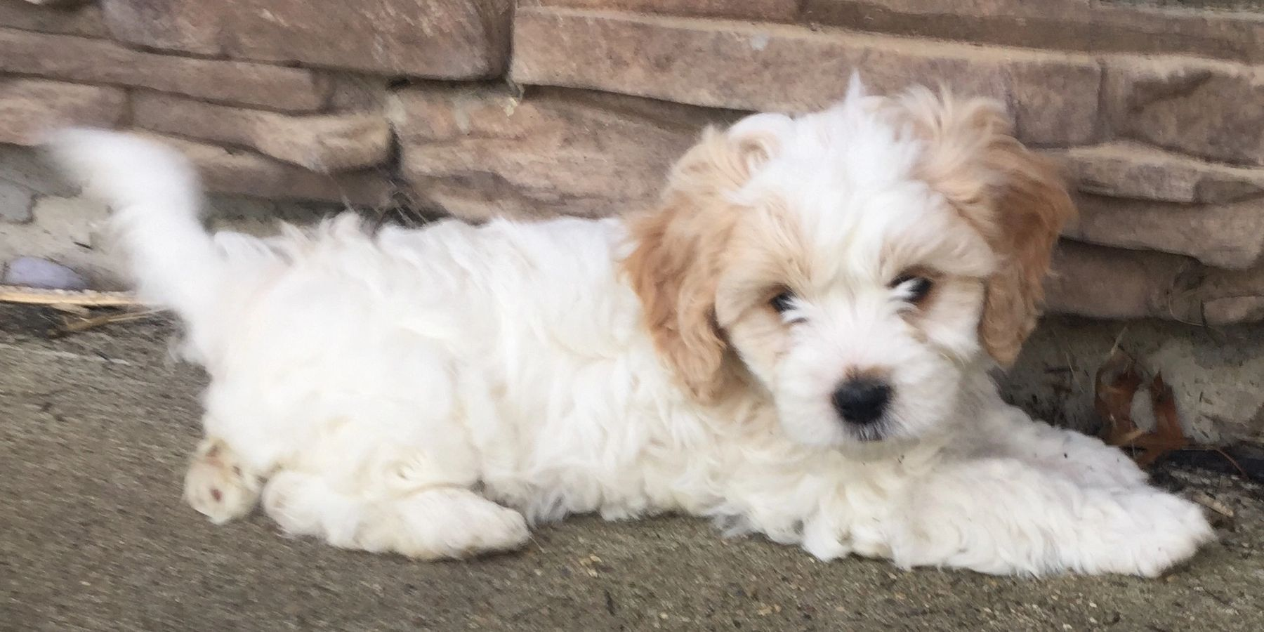 Herringtonlakecavachon Com In 2020 Cute Small Dogs Cavachon Puppies Kittens And Puppies