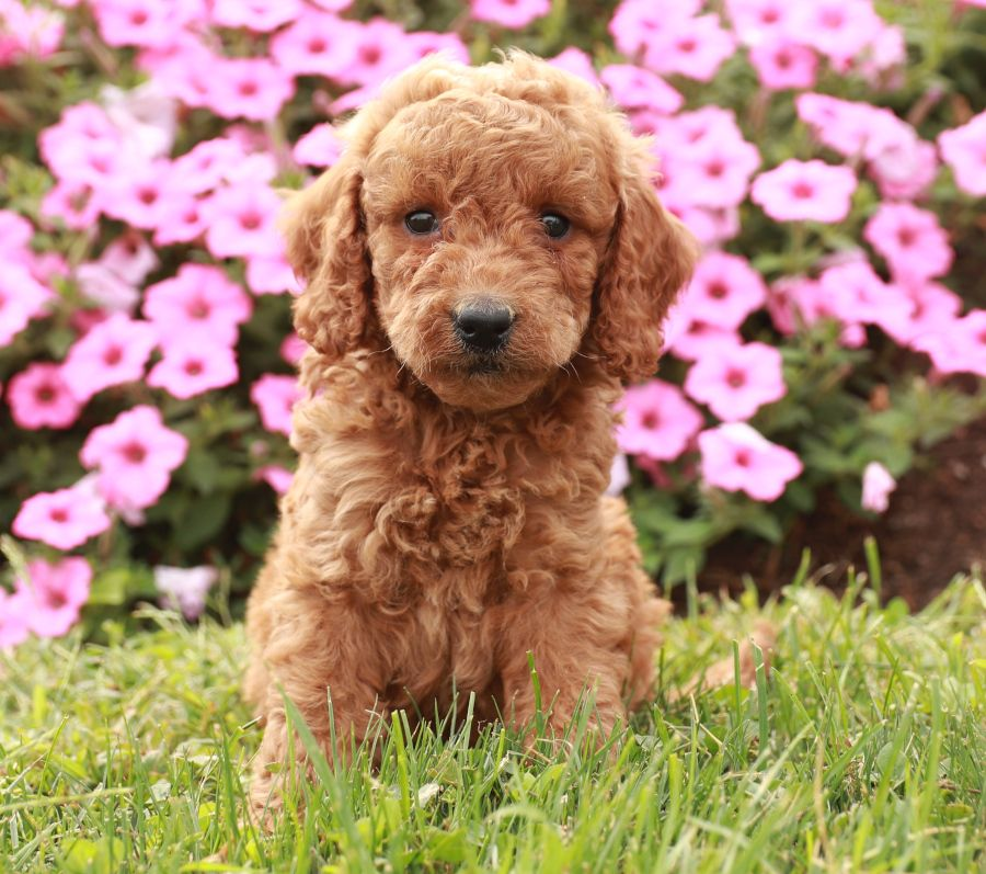 Mini Goldendoodle Puppies For Sale Mini Goldendoodle Puppies Mini Goldendoodle Goldendoodle Puppy For Sale