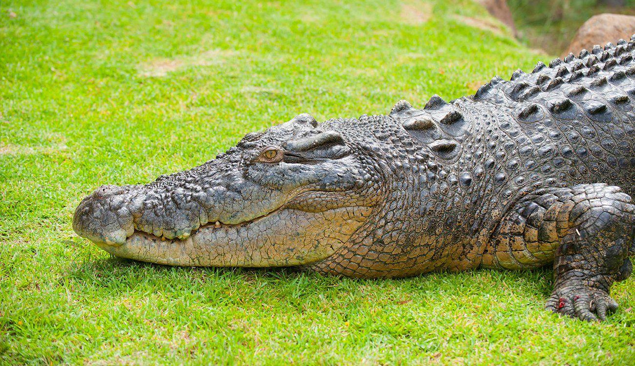 تفسير رؤية حلم التمساح في المنام لابن سيرين والنابلسي التمساح التمساح في الحلم التمساح في المنام تفسير ابن سيرين Crocodile Saltwater Turtle