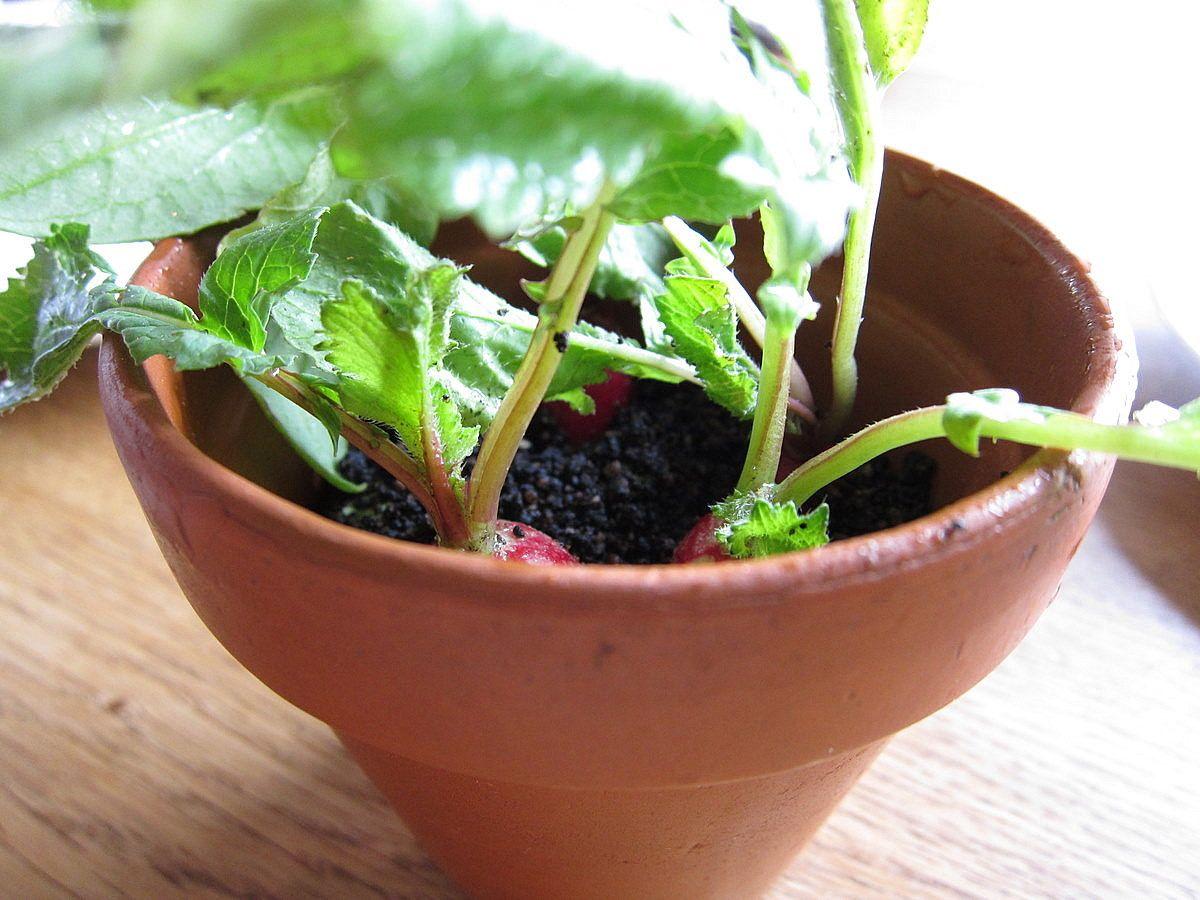 Radishes In Hazelnut Soil Served In A Terra Cotta Pot By Chef Rene