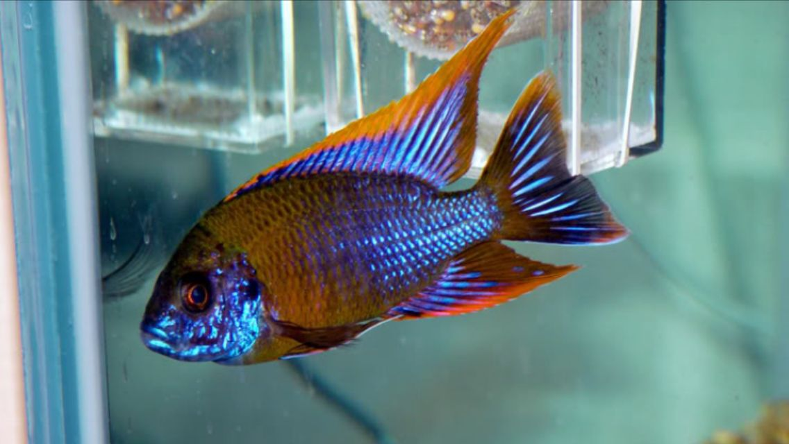 Aulonocara Lwanda Red Top Aquarium Fish Cichlids Tropical Fish
