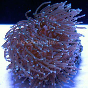 Sarcophyton Toadstool Leather Coral Aquacultured Ora Coral Saltwater Tank Reef Tank
