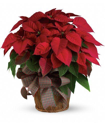 Large Red Poinsettia Christmas Plants Christmas Flower Arrangements Poinsettia Plant