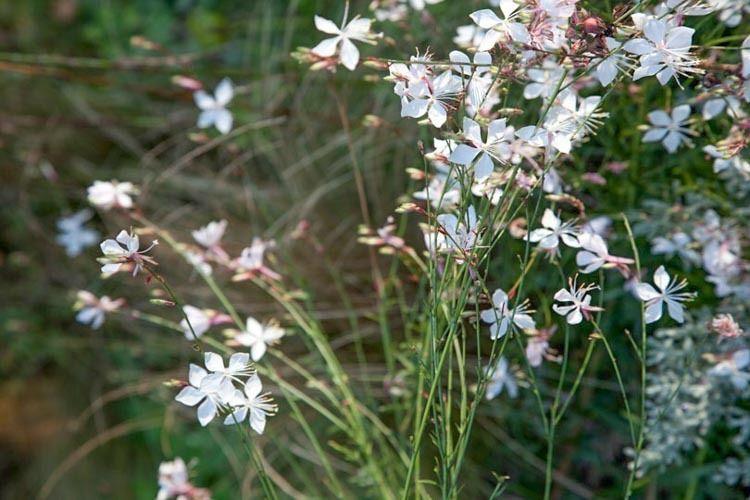 Gaura Lindheimeri Whirling Butterflies Lindheimers Beeblossom