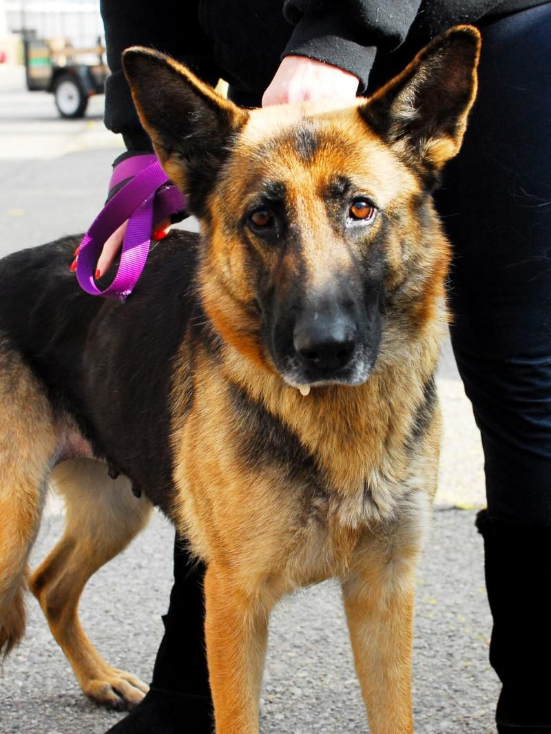 Adopt Maddilynn Adopted On Shepherd Dog German Shepherd Dogs Dogs