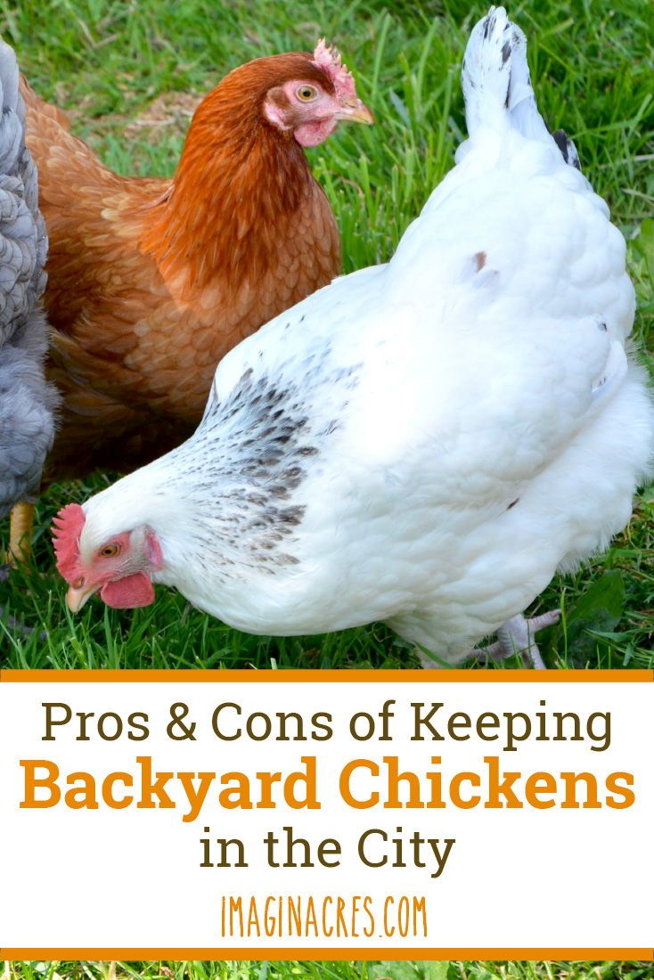 Pros and Cons of Backyard Chickens in the City | Chickens ...
