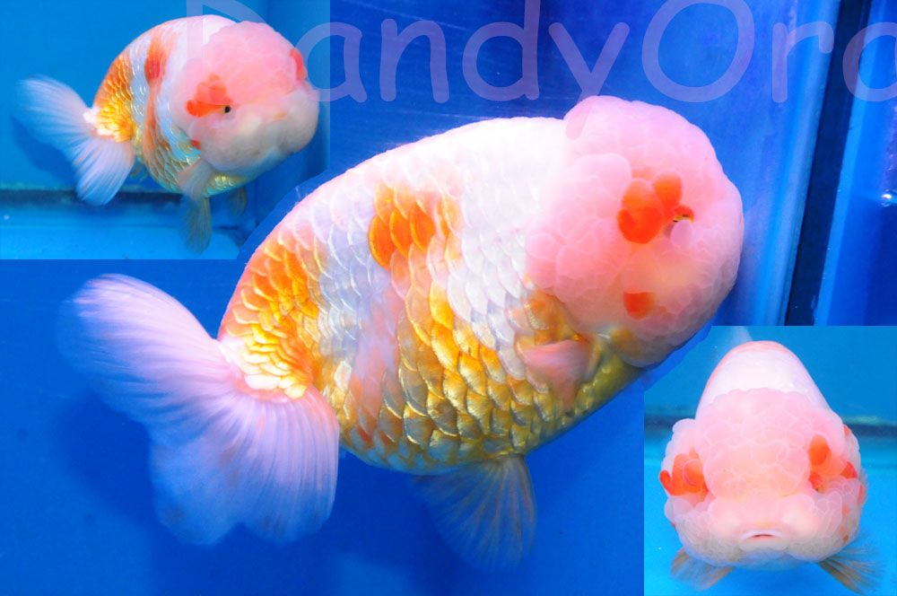 Super nice ranchu with massive head  More of a