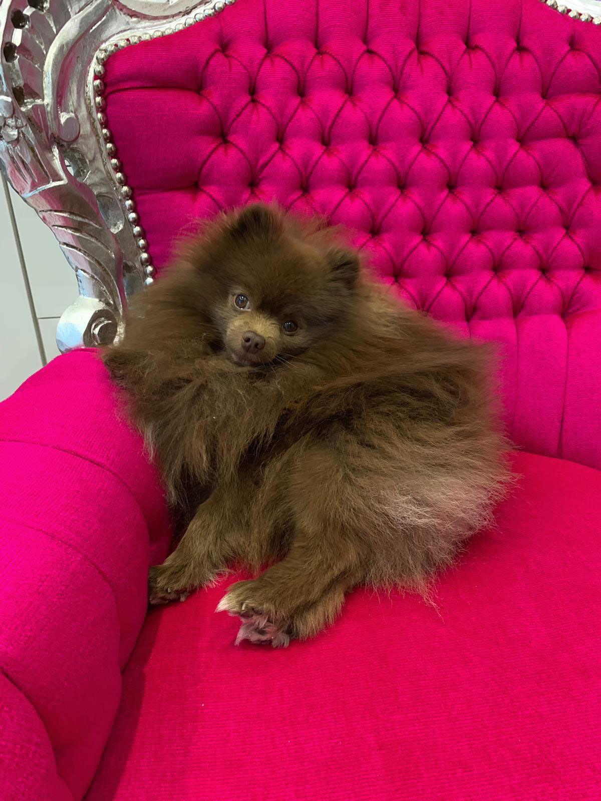 Spitzzucht Von Der Arnolds Eiche Wir Zuchten Gross Klein Zwergspitz Welpen Rassehunde Hunde Welpen Hau In 2020 Pomeranian Puppy Teacup Pomeranian Puppy Pomeranian Dog