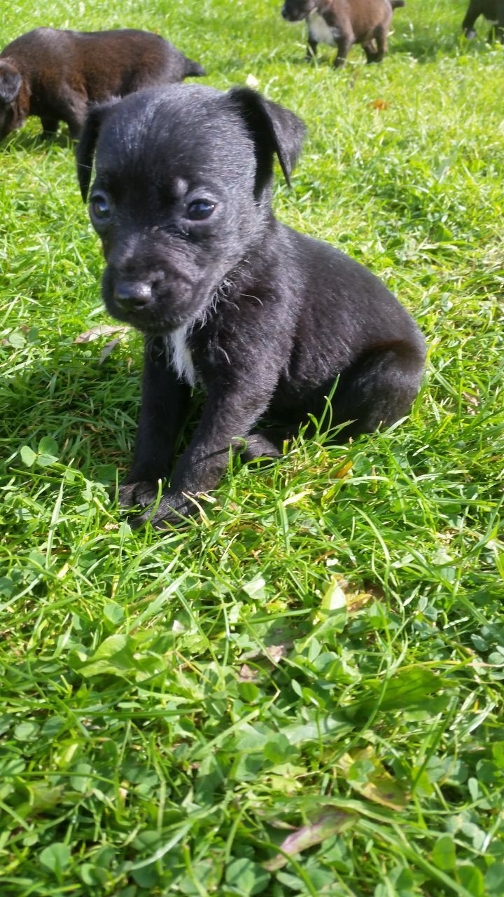 Legally Docked Patterdale Puppy Ready Now 1 Left Patterdale