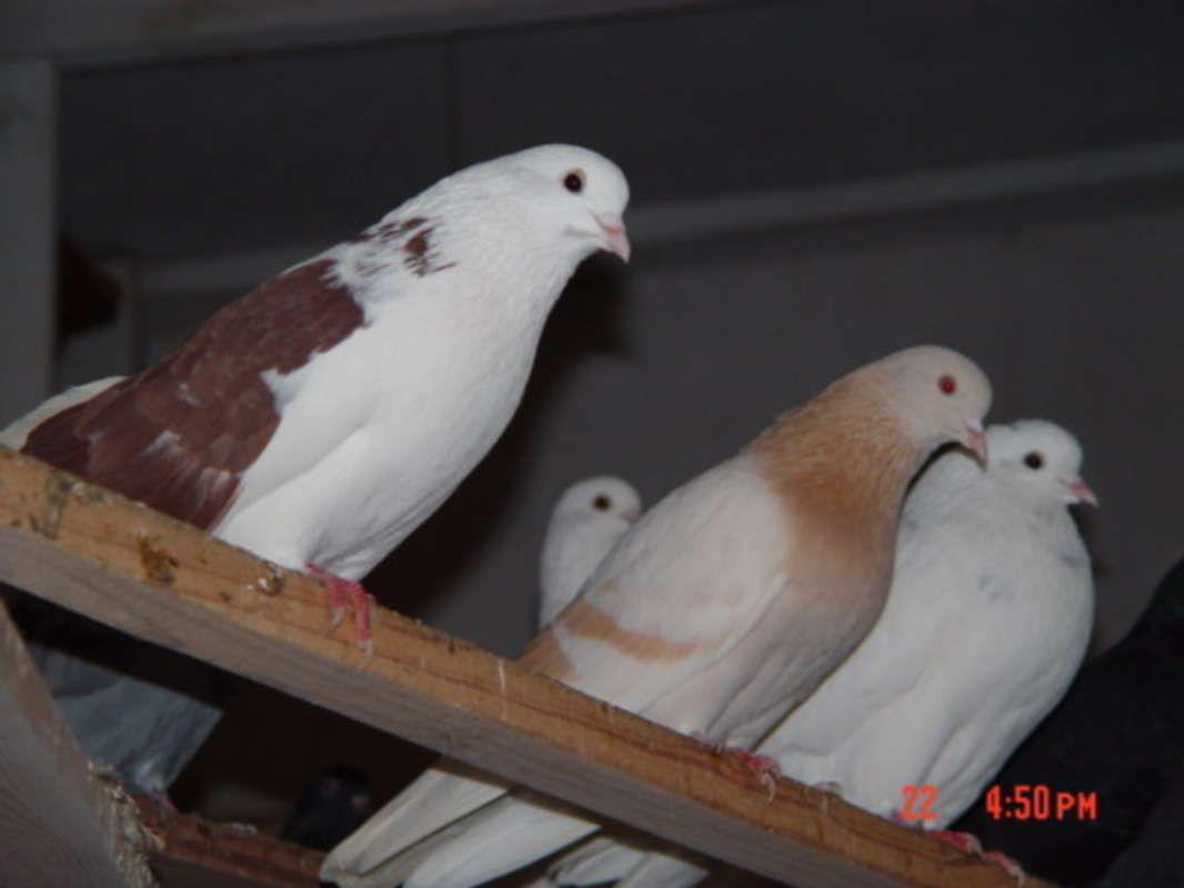 Highflier Pigeons In Houston Texas Hoobly Classifieds Pigeon Bird Pigeon Dove Pigeon