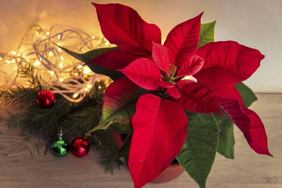 комнатное растение рождественская звезда уход
