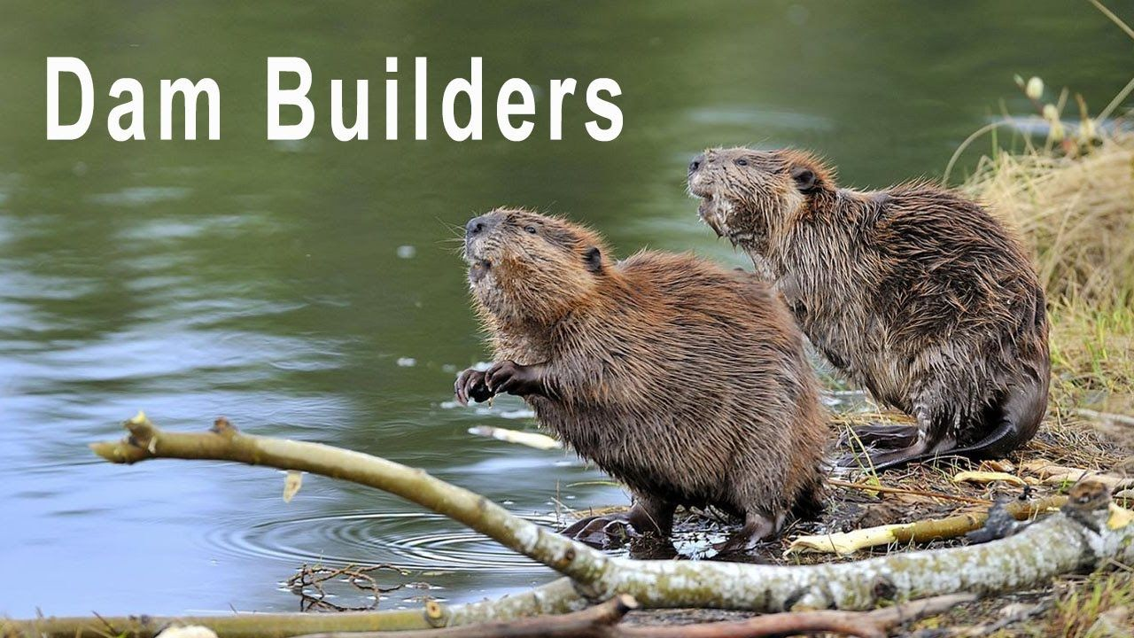 Beaver The Excellent Dam Builders World Of Animals 7 In 2020 Wild Animals Pictures Animals Beaver