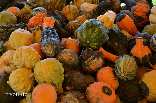 Gourds at the pumpkin patch