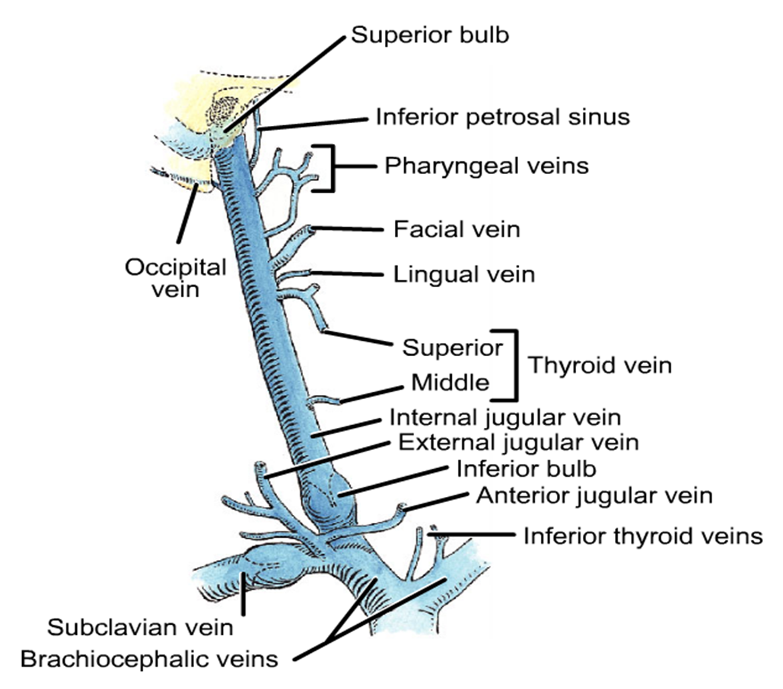Internal Jugular Vein Anatomy