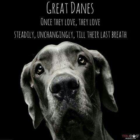 Photo Courtesy Of Great Dane Rescue Inc Via Facebook Great Dane