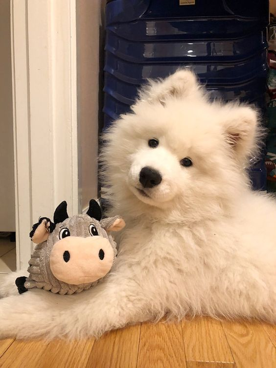 Photo of Samoyed Saturday Samoyed Dog Photos 05/25/2019 (22 PHOTOS)