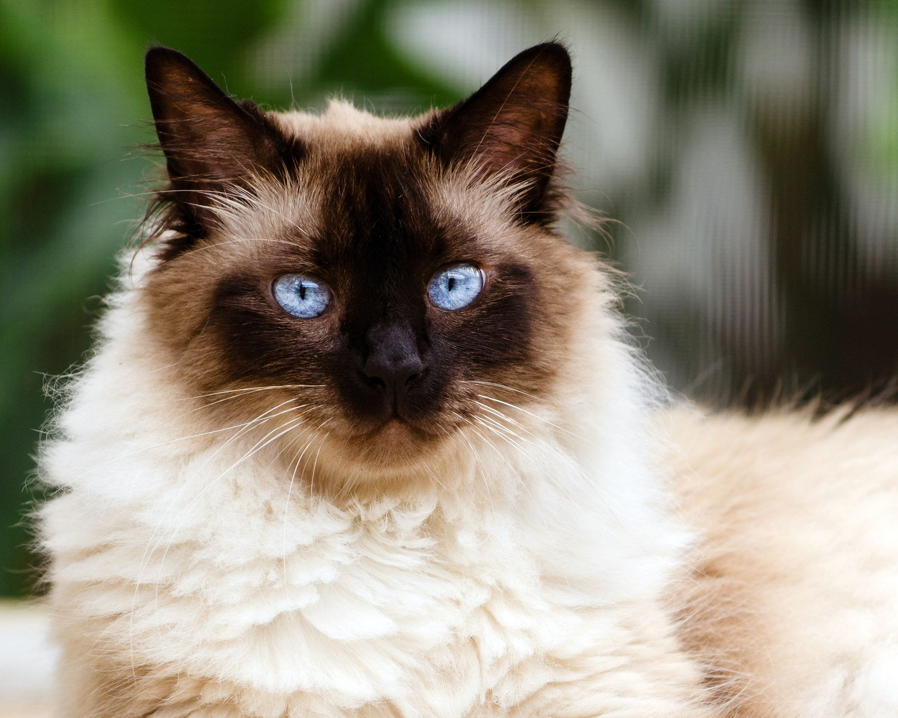 Portrait Of An Himalayan Cat The Himalayan Cat Is A Cross Between The Persian Cat And The Siamese Cat That Was De Himalayan Cat Cat With Blue Eyes Cat Breeds