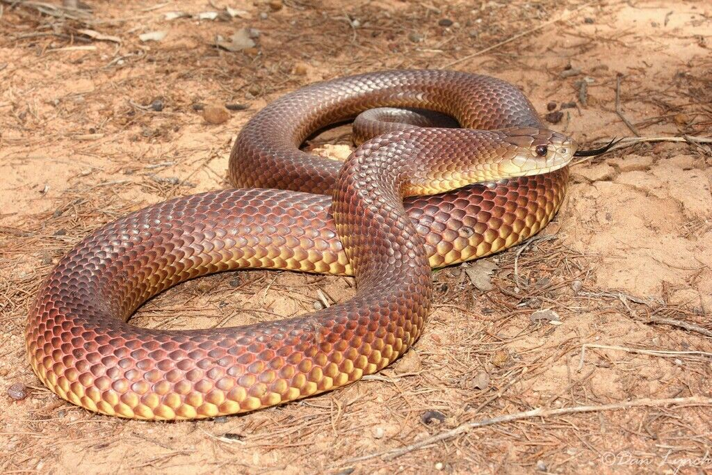 King Brown Snake Pseudechis Australis With Images Snake