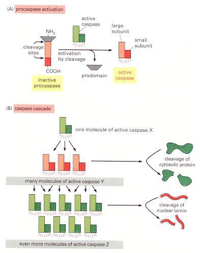 Figure 17 38 The Caspase Cascade Involved In Apoptosis Molecular Molecular Biology Active Site