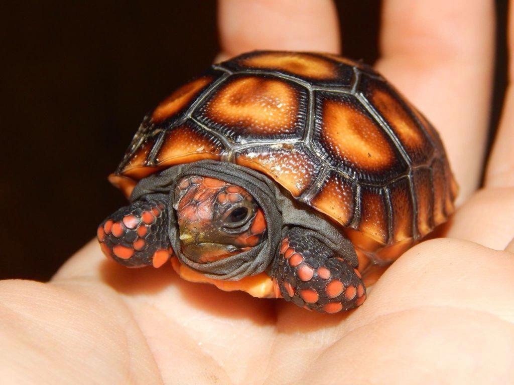 Cherry Head Tortoise 亀の赤ちゃん カメ リクガメ