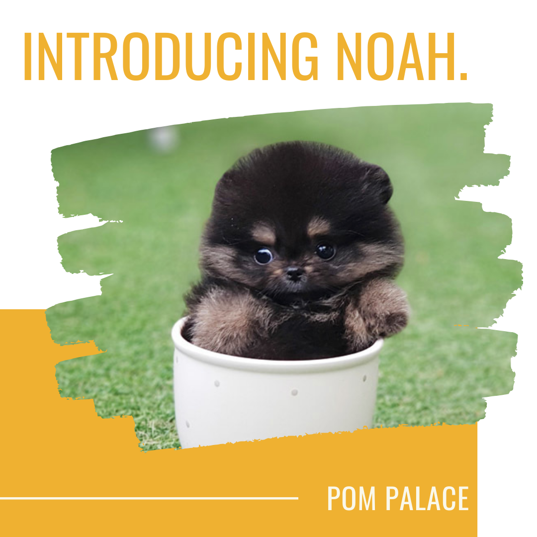 Pom Palace We Are An Exclusive Pomeranian Pet Shop Based In Vancouver Canada We Ve Been Successfully In 2020 Pomeranian Puppy For Sale Pomeranian Puppy Puppies