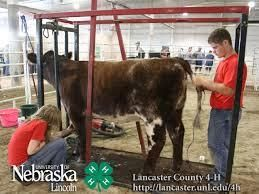 Fitting show cattle