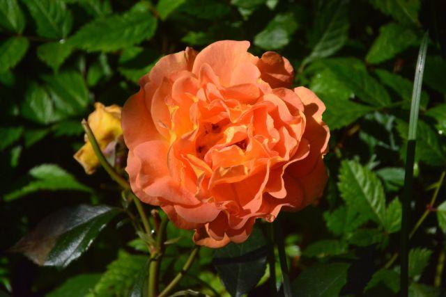 Goldelse  ruusu