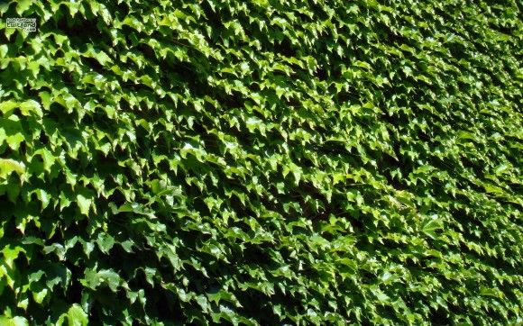 mur de feuilles de vigne vierge vannerie pinterest feuille de vigne vignes et vierge. Black Bedroom Furniture Sets. Home Design Ideas