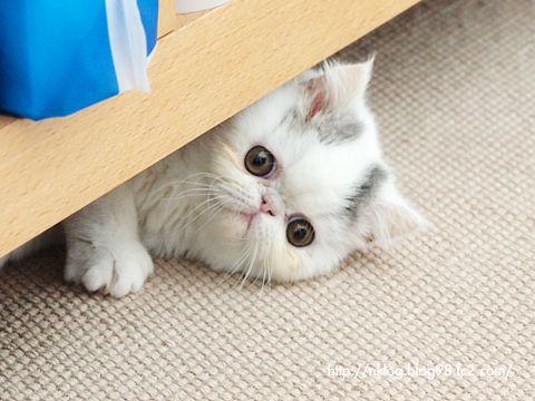ブサかわいい猫・エキゾチックショートヘア「タマ」のネコ写真ブログ