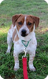 Pictures Of Bruce A Dachshund Beagle Mix For Adoption In
