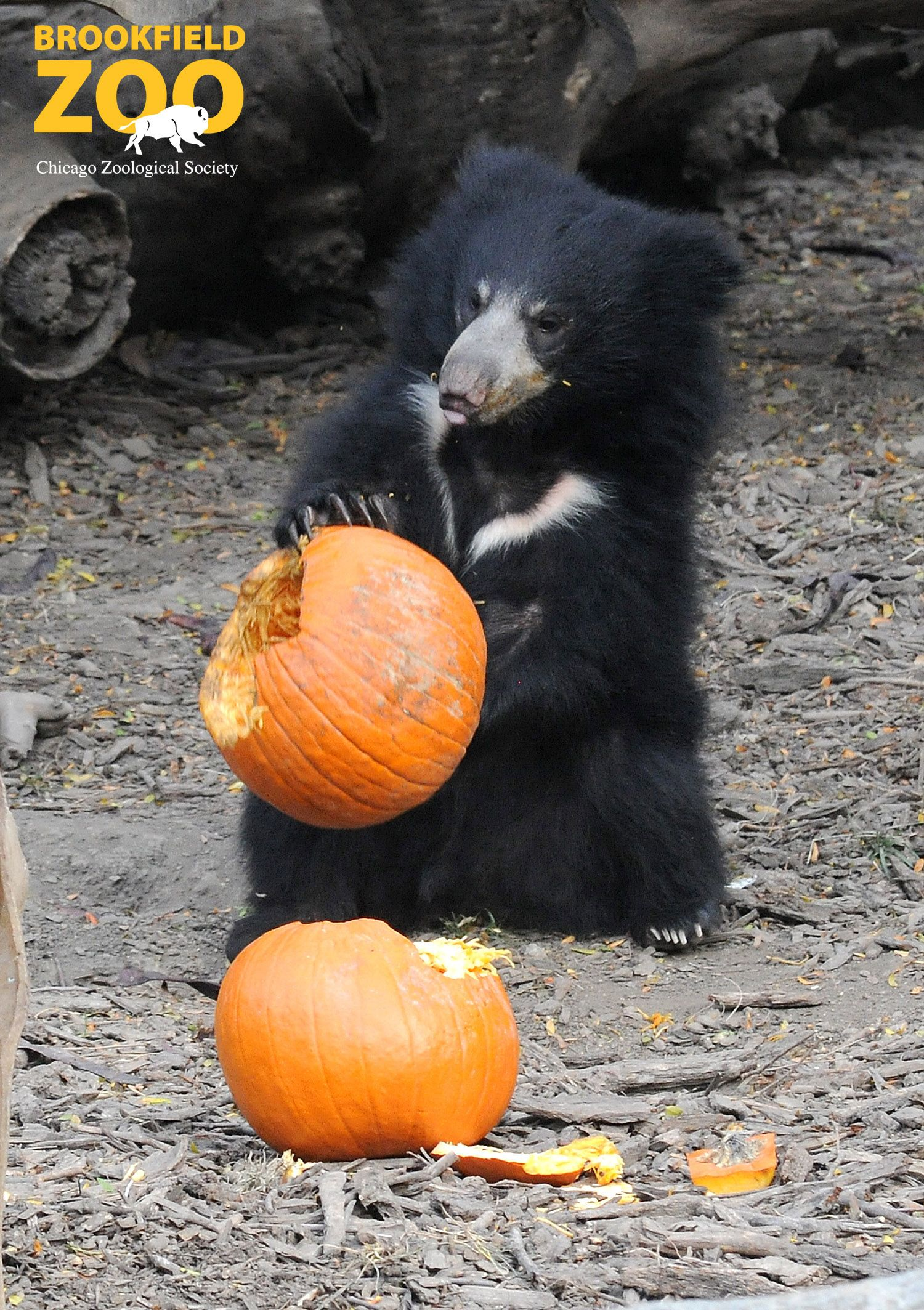 Bhalu, a 10monthold sloth bear at Brookfield Zoo, seems