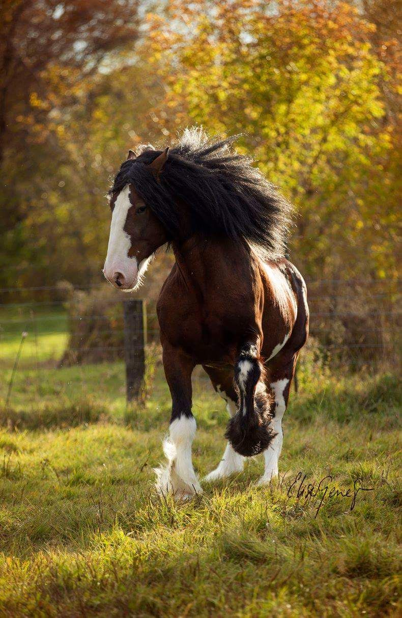 Photo of beautiful Clydesdale