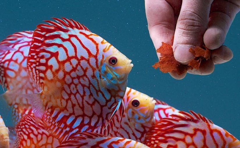 Ornamental Fish Feed Market Size, Trends, Shares, Insights, and Forecast -  2026 in 2021   Discus fish, Fish, Fish feed