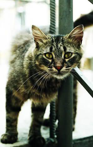 Dark Brown Tabby Cat Pale Brown Tabby Tom With Darker Brown Grey Stripes Amber Eyes American Shorthair Cat Tabby Cat Serval Cats
