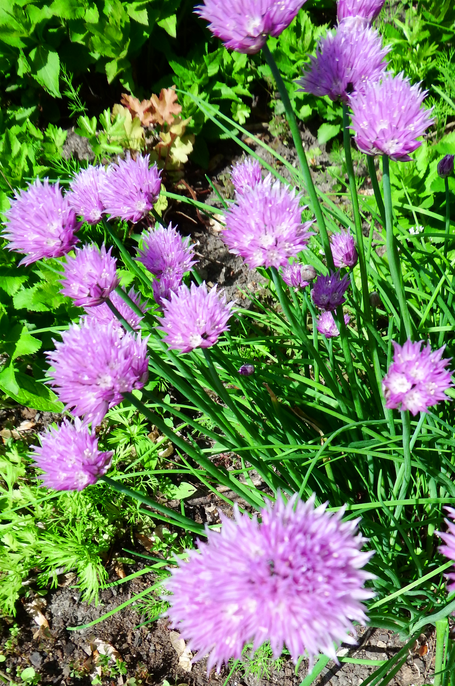 Flowering Chives Too Pretty To Eat Azon