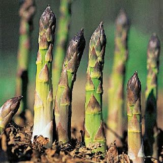 fresh-garden-asparagus-in-september? In spring, harvest half of the plants as you normally would; then, allow the foliage to grow for the rest of  the season. In the second half of your asparagus bed, allow the uncut spears to develop into ferns throughout the late spring and early summer.  Then, cut the ferns back to two inch stubs in July or August. This causes the crowns to send up new spears, which can be harvested in late summer and early fall. A light mulch will help keep the soil…