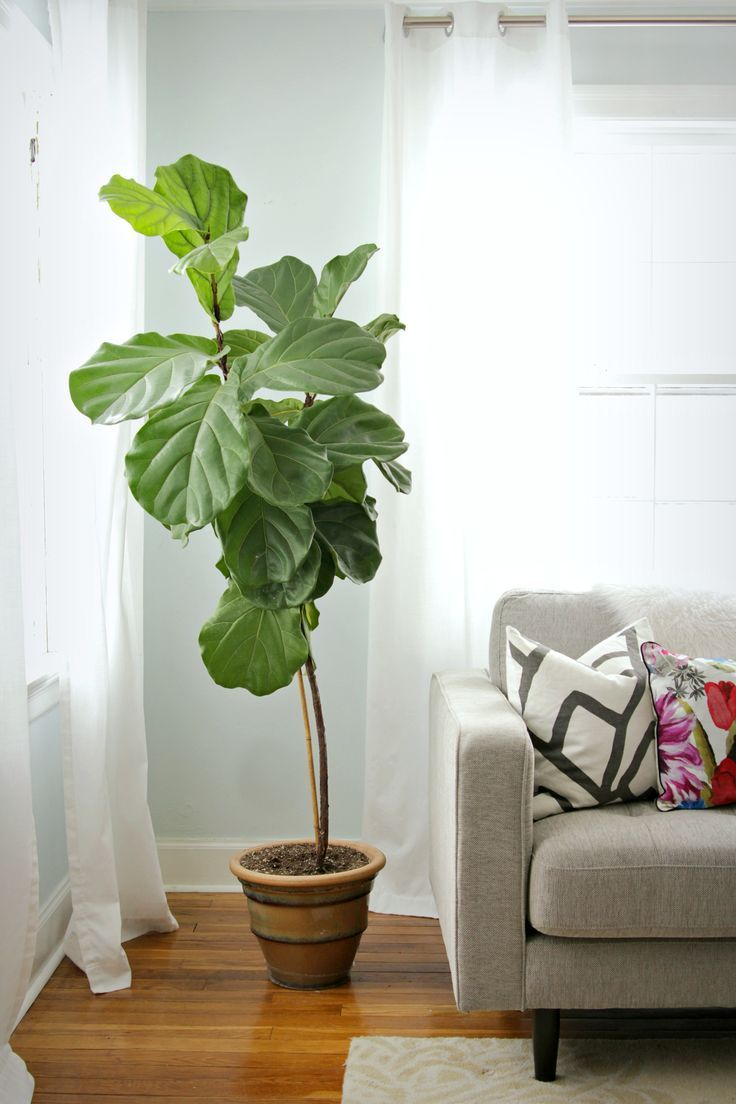 How To Keep A Fiddle Leaf Fig Alive And Happy. Indoor Tree PlantsHouse ...