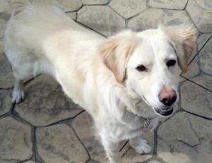 Adopt Tasha On Dogs Golden Retriever Golden Retriever Rescue Pets
