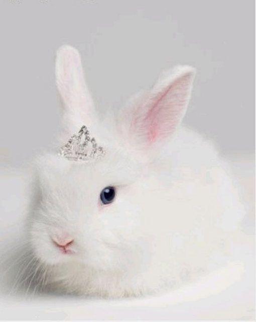cute white rabbit princess <3        #cute #animals #rabbit #princess #funny #white    VIA:www.ireneccloset.com