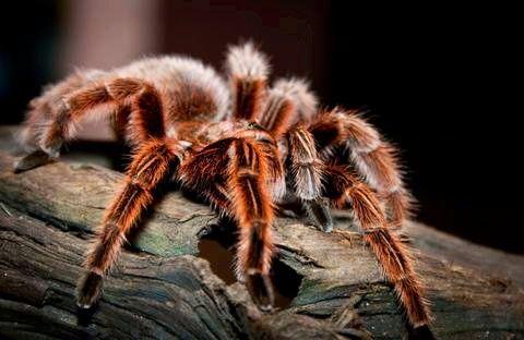 Rose Hair Tarantula - (Grammostola rosea) (red color phase)   Tarantula, Spider, Most beautiful animals