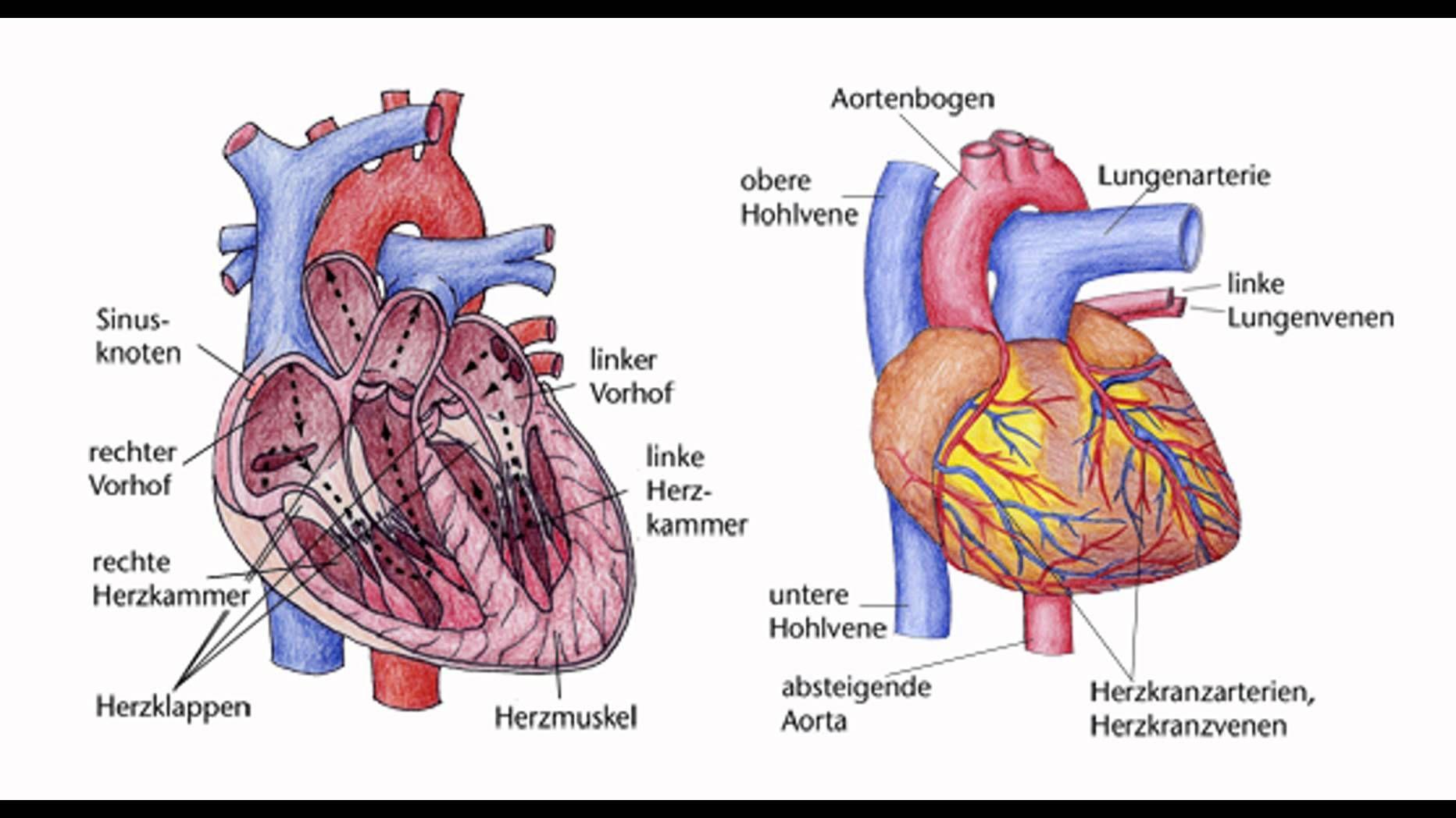 Fein Anatomie Des Herzens Und Der Lunge Fotos - Anatomie Ideen ...