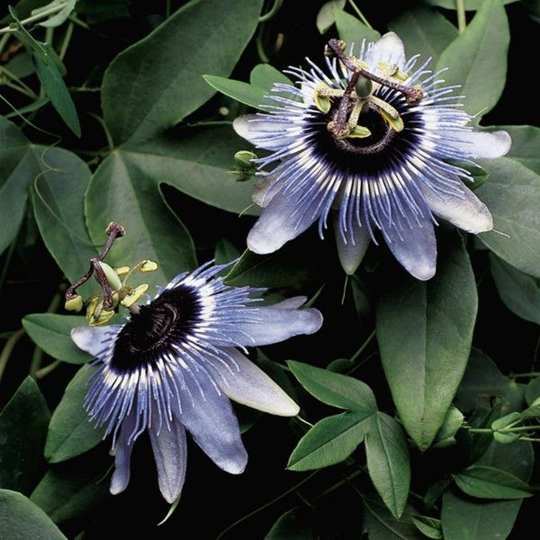Passion Flower Blue Bouquet Passiflora Hybrid A Heavy Bloomer That Puts On A Spectacular Display In The Summer Garde Passion Flower Blue Bouquet Passiflora
