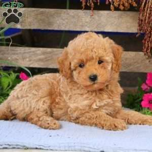 Mini Goldendoodle Puppies for Sale | Greenfield Pu