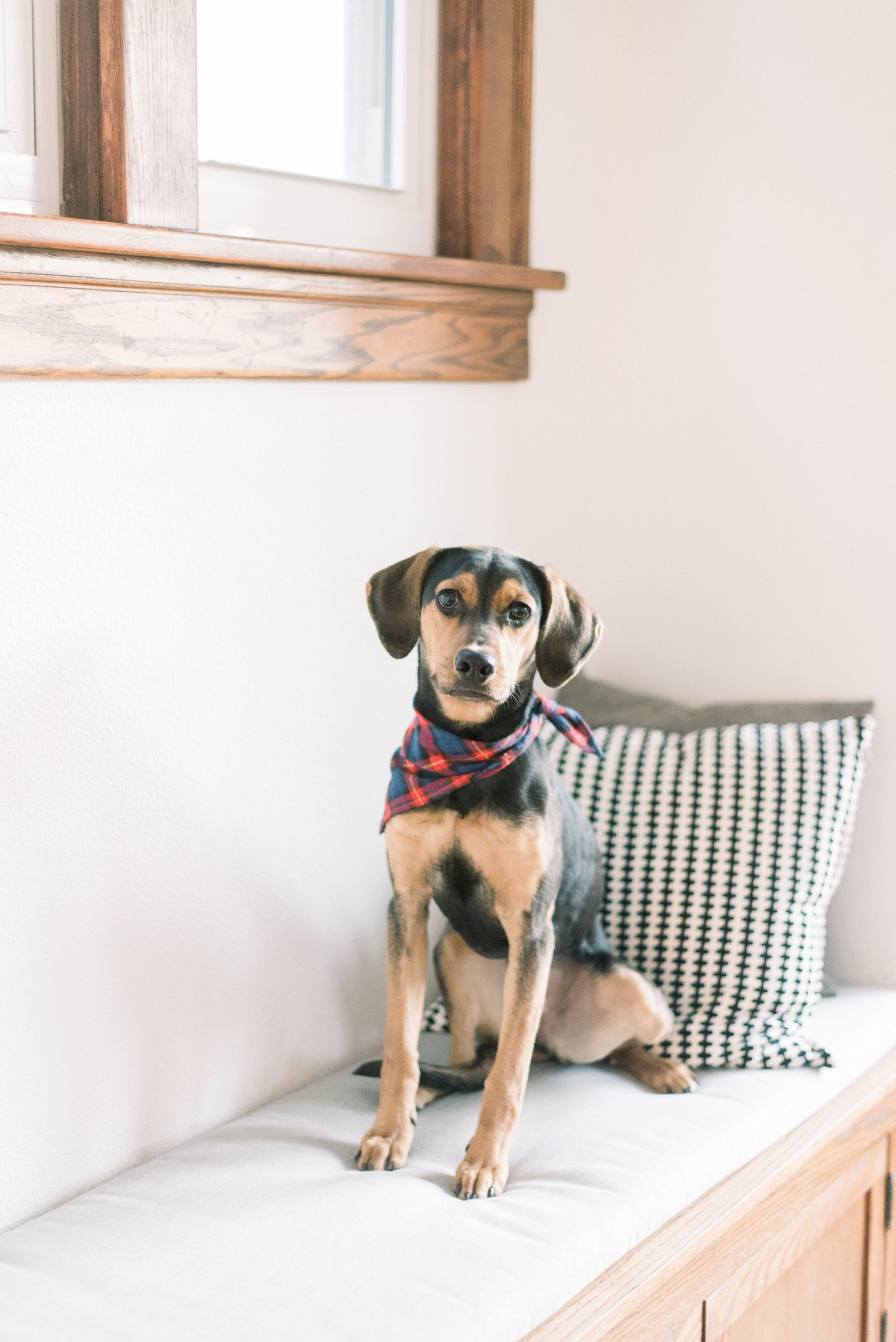 Coonhound Mix Coonhound Puppy Cute Dogs Pet Photography