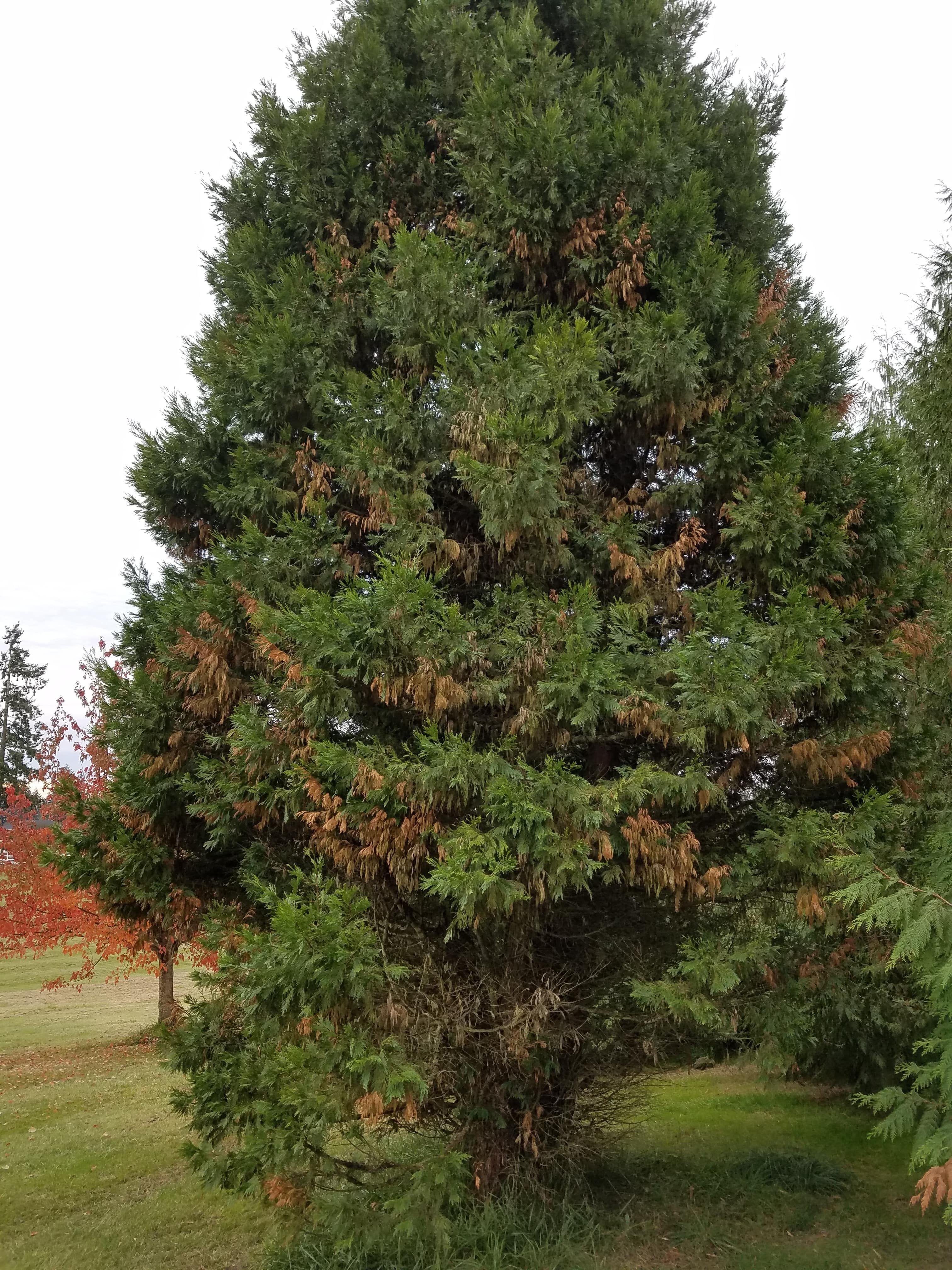 Why Is My Incense Cedar Turning Brown Fruit Trees Cedar Tree