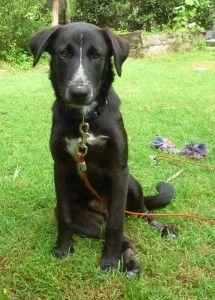 Australian Koolie Dog Photo Bc Brisbane Qld Adoption Pending Australian Working Dog Rescue Koolie Dog Australian Cattle Dog Cattle Dog